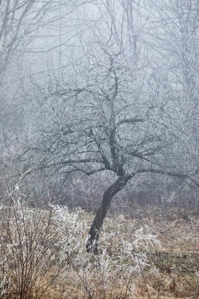 winterbaumfrost