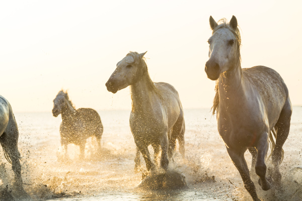 kleine gruppe von weissen pferden laeuft