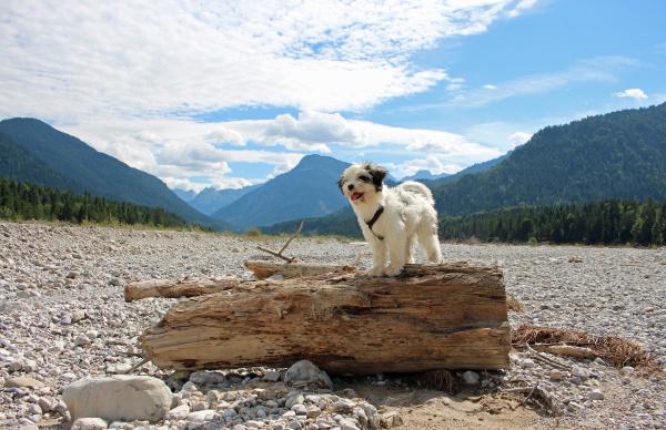 tibet terrier welpe