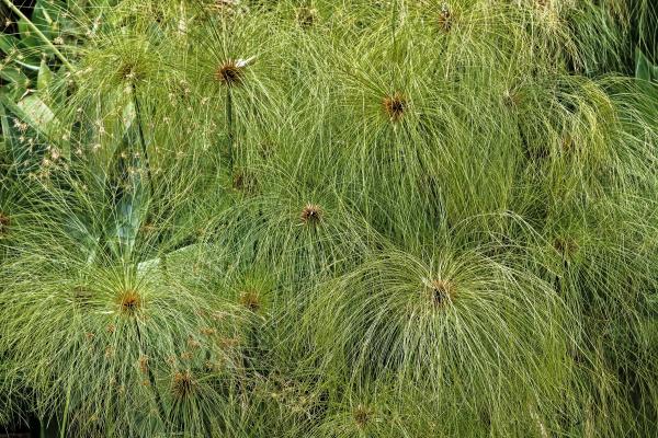 echter papyrus cyperus papyrus