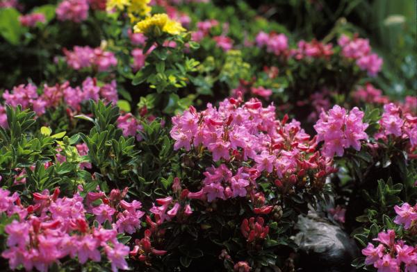 almrausch behaarte alpenrose rhododendron hirsutum