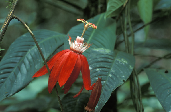 rote passionsblume passiflora vitiflora costa rica