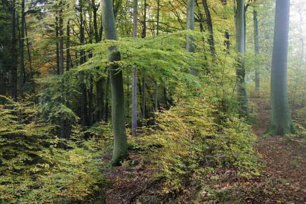 herbstlich gefarbter buchenwald