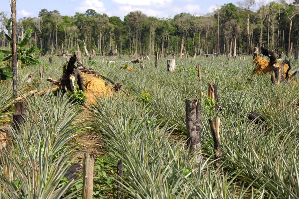 ananasplantagen auf gerodeten waldflachen im amazons