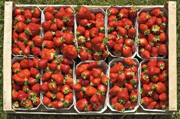 frisch gepfluckte biologisch angebaute erdbeeren in