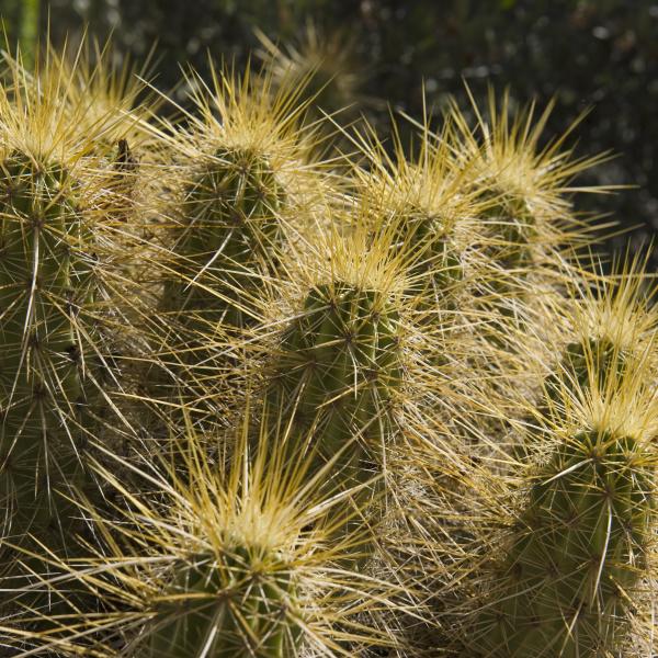 goldener igel kaktus