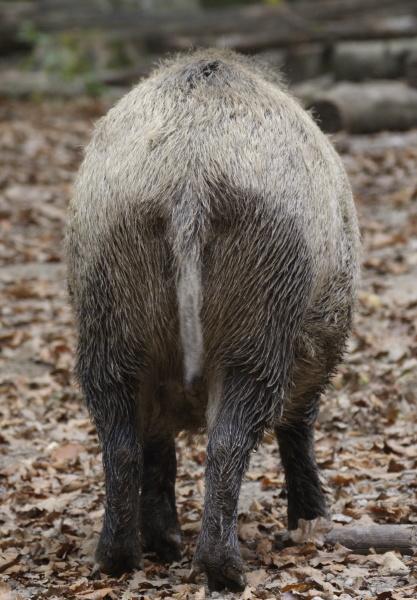 wildschweinhinterteil sus scrofa captive