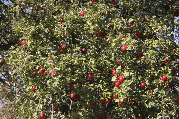 reife apfel apfelbaum rhon