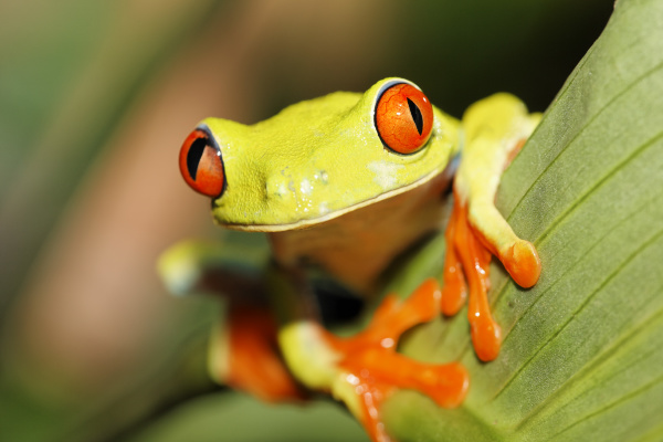 rotaugenfrosch rotaugen frosch agalychnis callidryas