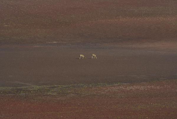 zwei vikunja vicugna vicugna suchen nach
