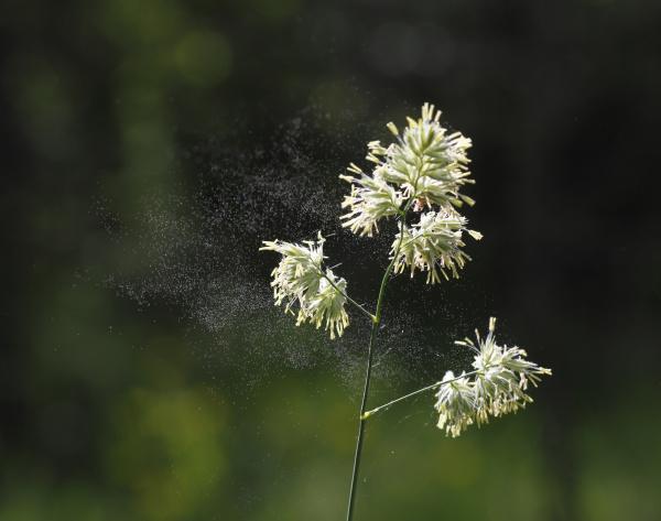 gewohnliches knauelgras dactylis glomerata mit pollenflug