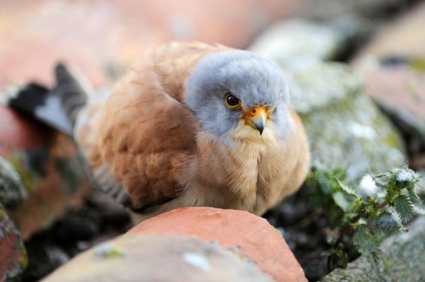 rotelfalke falco naumanni