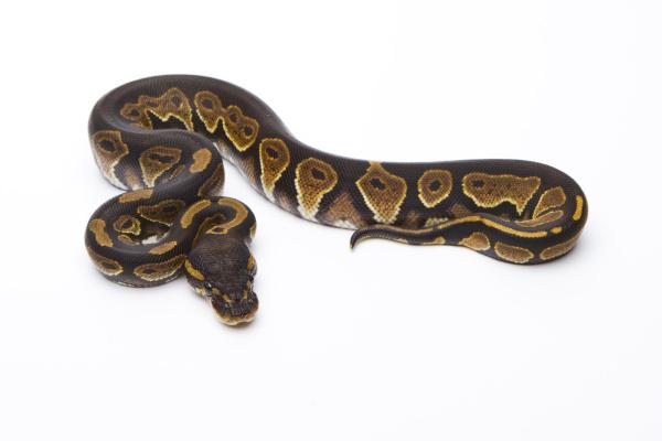 konigspython python regius black head
