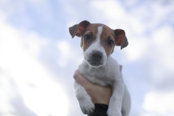 portraet von jack russel terrier welpen