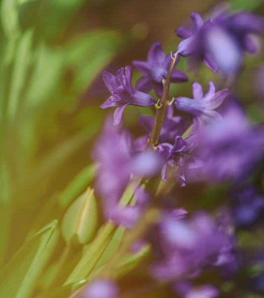 blau blume pflanze gewaechs fruehjahr hyazinthe