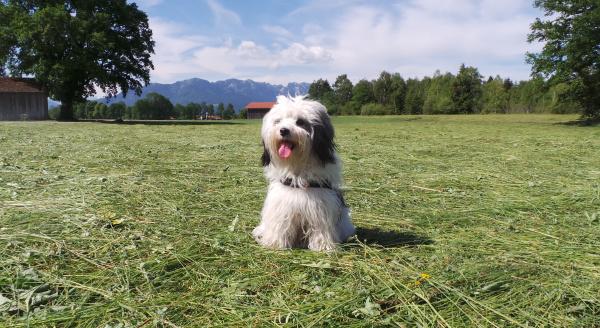 tibet terrier rassehund in der wiese