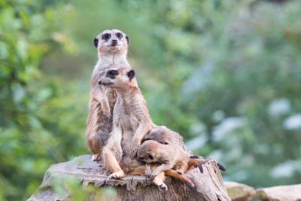 erdmannchen suricata suricatta