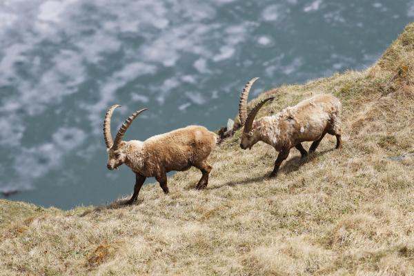 alpensteinboecke gemeiner steinbock capra ibex margaritzenstausee