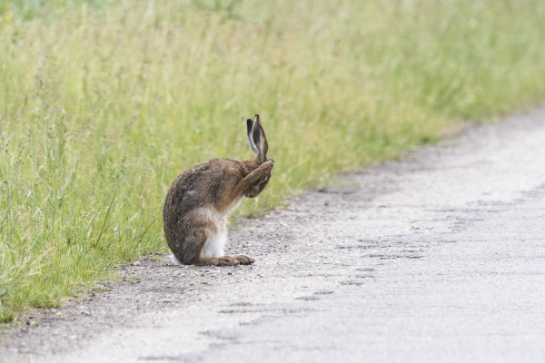 feldhase lepus europaeus putzt sich nationalpark