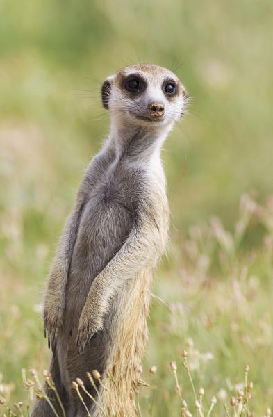 suricate suricata suricatta