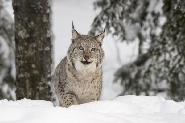 eurasische luchs oder nordluchs lynx lynx