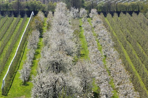 bluehende kirschbaeume und apfel plantagen kressbronn