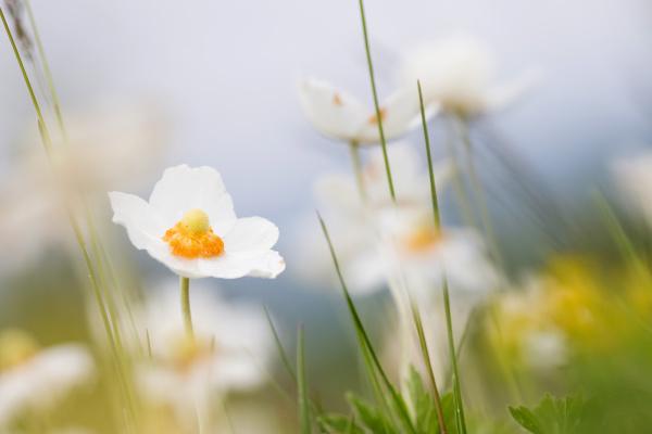 grosses windroschen anemone sylvestris hessen