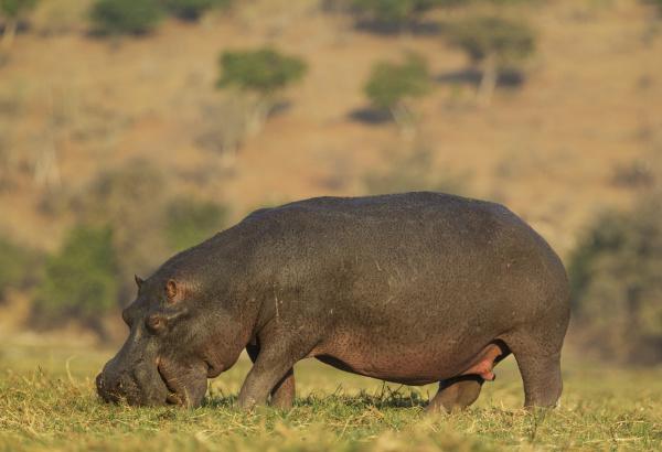 hippopotamus hippopotamus amphibius grazing bull