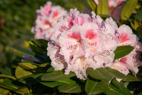 rhododendron hybrid kromlauer parkperle rhododendron hybrid