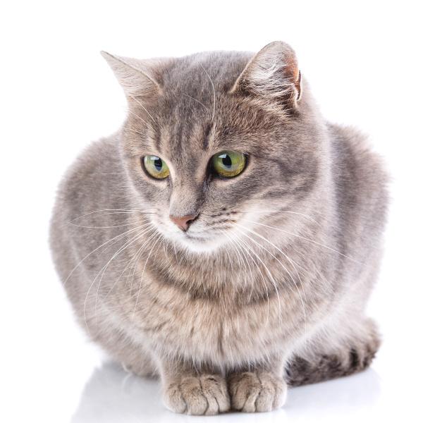 portraet einer grauen katze katze ohne