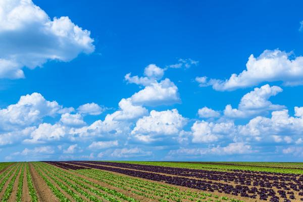 salatfeld an einem sonnigen tag