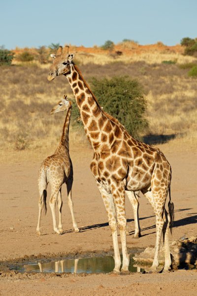 giraffen an einem wasserloch