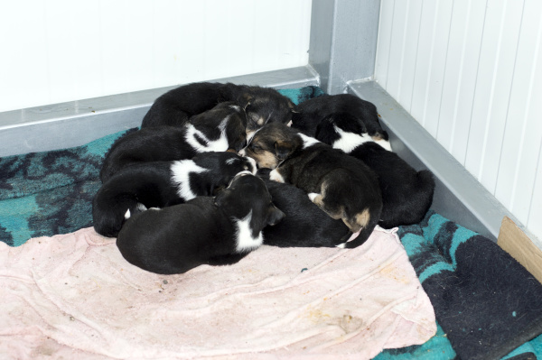 viele schwarze welpen schlafen im tierheim