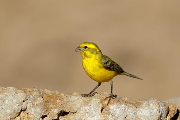 gelber kanarienvogel suedafrika