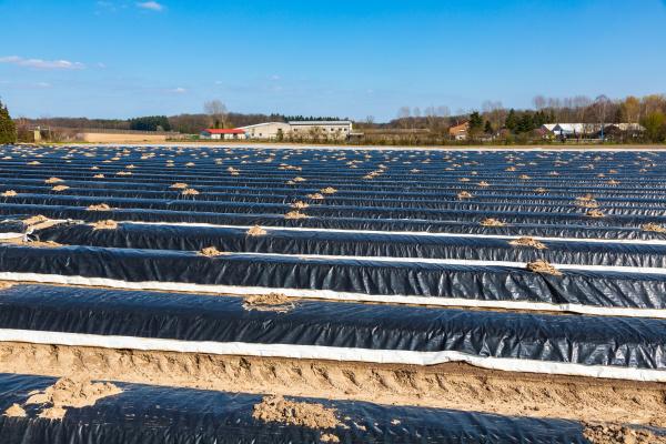 spargelproduktion im palz in deutschland
