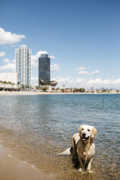 spanien barcelona portraet des nassen labrador