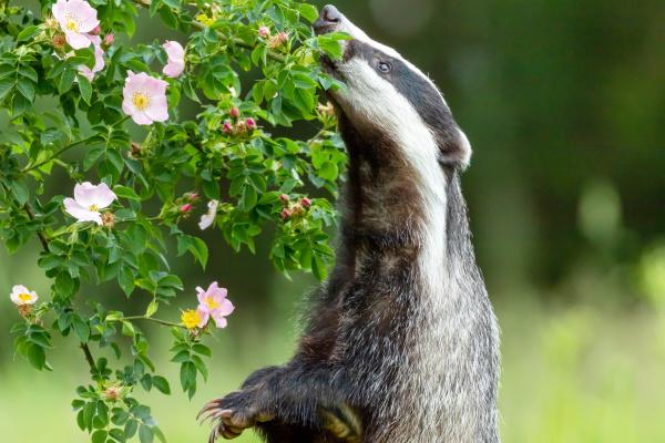 dachs schnueffelt eine wilde rosenblume
