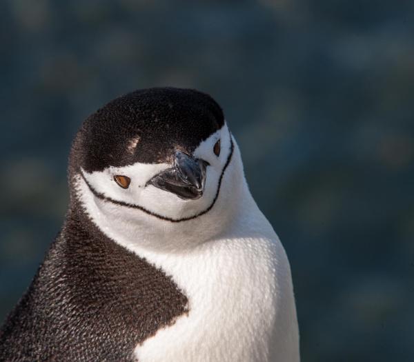 antarktis pinguin kopfschuss