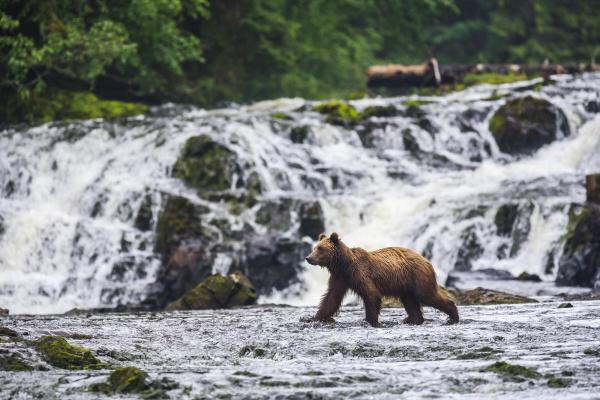 young brown bear ursus arctos