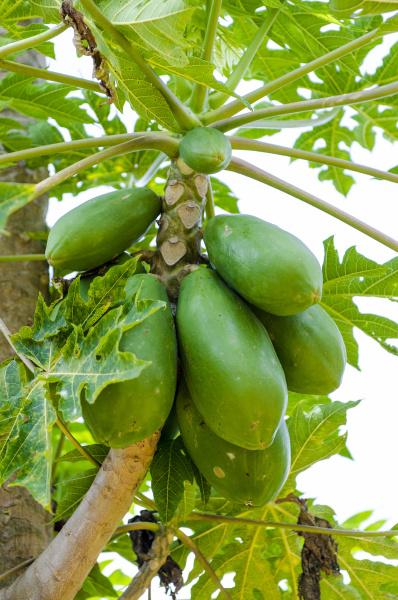 papaya carica papaya dole plantation wahiawa