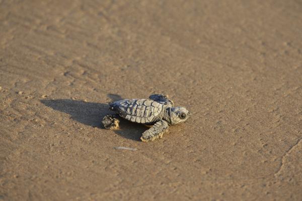 kemp es ridley sea turtle