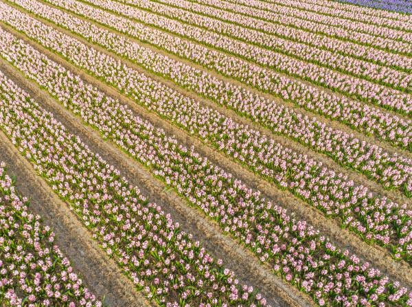 luftaufnahme von tulpenreihen im botanischen garten