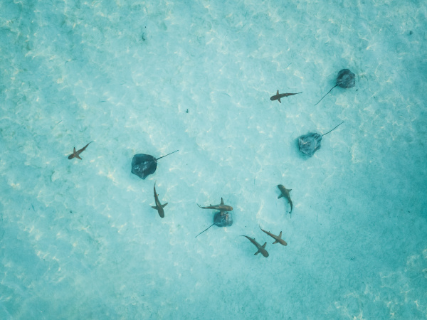 luftaufnahme von mantas und haien die