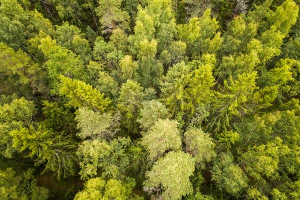 luftaufnahme des nordischen pinienwaldes auf der