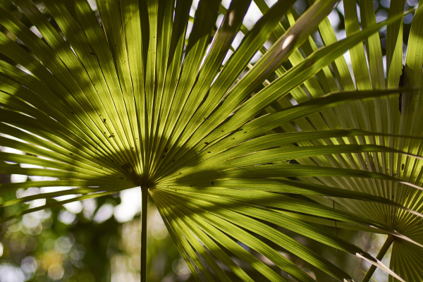 palm's, leaves, detail - 27463524