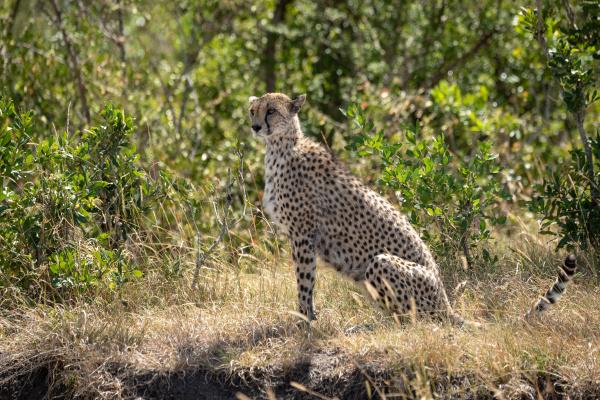 weibliche gepard sitzt im profil auf