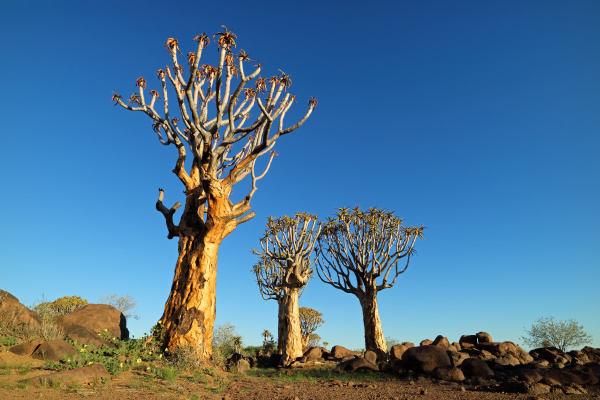 koecherbaumlandschaft namibia
