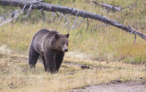 wyoming yellowstone nationalpark grizzly bear