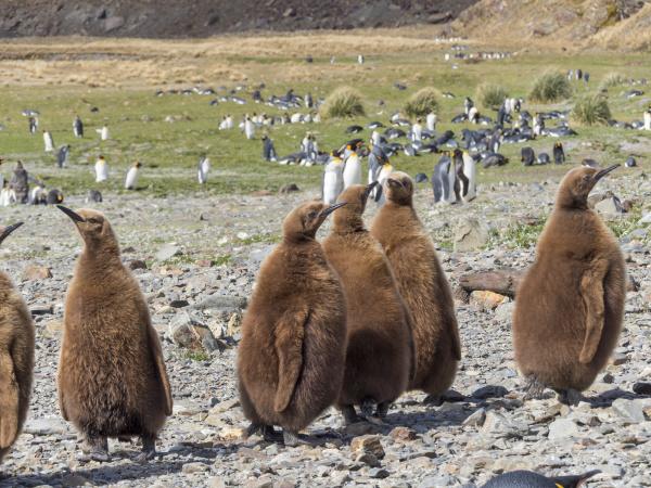 king penguin aptenodytes patagonicus auf der