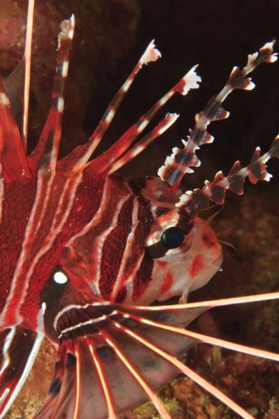 zebra feuerfisch dendrochirus zebra bandasee indonesien
